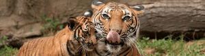 To save tigers, we need Big Data Analytics